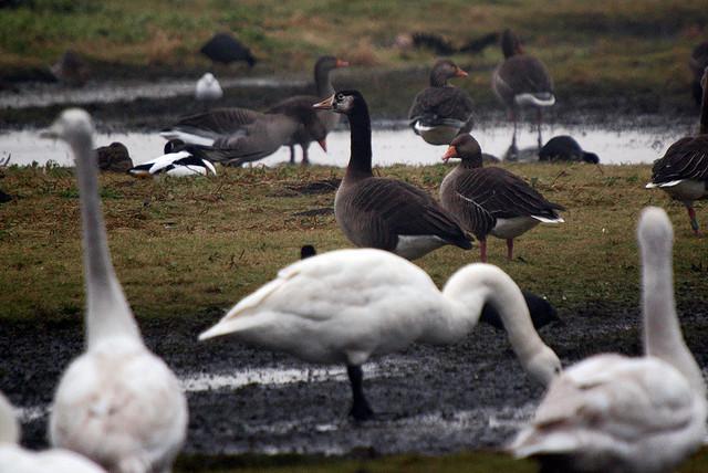 Birds on marsh land
